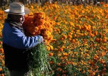 Productor de cempasuchitl, flor de dia de muertos, en México