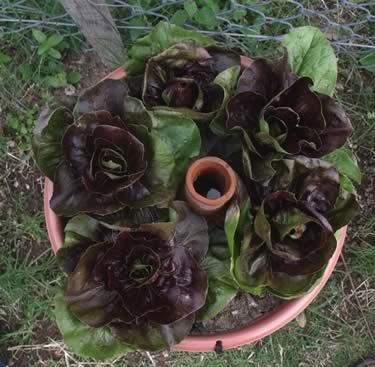 hortalizas caseras con Ollitas Sol