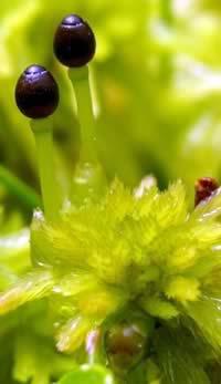Musgo Phagnum falcatulum