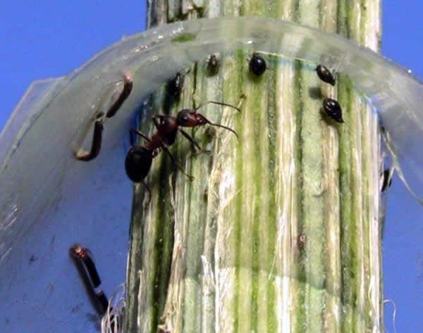 plaga-hormigas