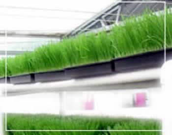 Conoce los beneficios del germinado de trigo (wheatgrass)